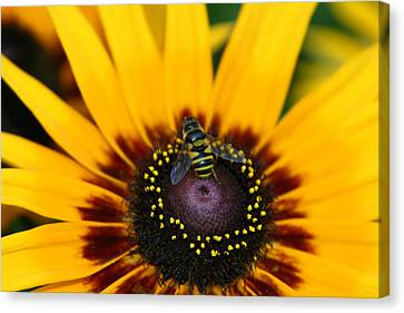 Busy Bee Canvas Print by Denyse Duhaime