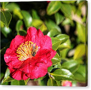 Busy Bee Canvas Print by Judy Vincent
