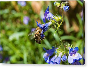 Busy Bee Canvas Print by Rhys Arithson