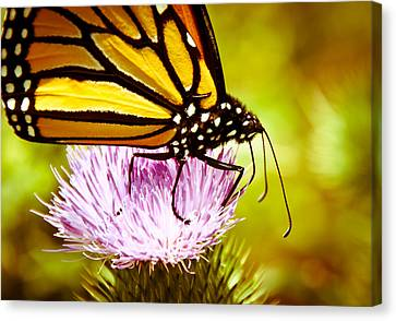 Canvas Print featuring the photograph Busy Butterfly by Cheryl Baxter