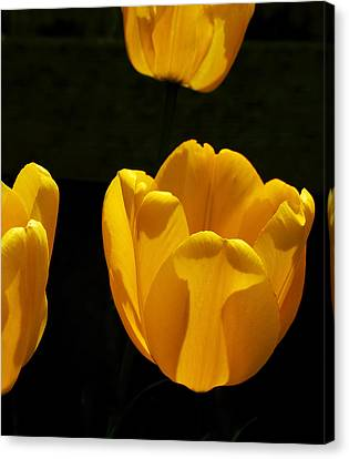 Buttercup Tulips Canvas Print by Steven Milner