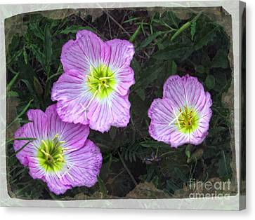 Buttercup Wildflowers - Pink Evening Primrose Canvas Print