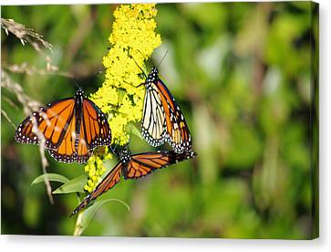 Canvas Print featuring the photograph Butterflies Abound by Greg Graham