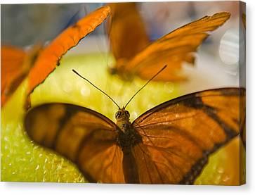 Butterflies Feeding Canvas Print by Scott Campbell