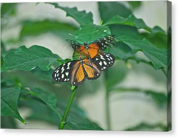 Canvas Print featuring the photograph Butterflies Gentle Touch by Thomas Woolworth