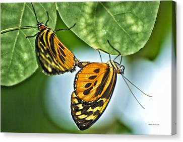 Canvas Print featuring the photograph Butterflies Mating by Thomas Woolworth