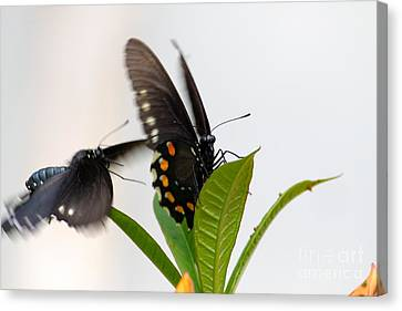 Canvas Print featuring the photograph Butterflies Playing by Jay Nodianos