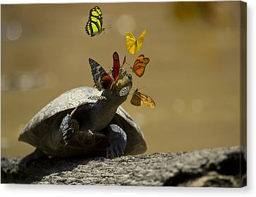 Butterfly In Motion Canvas Print - Butterflies Sipping Salt From Turtles by Pete  Oxford