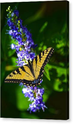 Butterflly Bush And The Swallowtail Canvas Print by Sandi OReilly