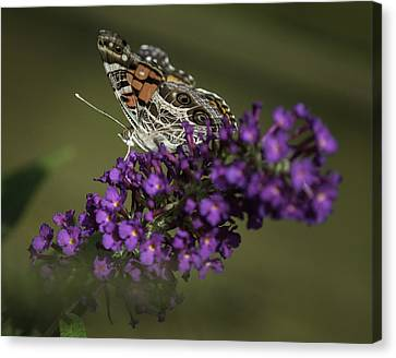 Butterfly 0001 Canvas Print