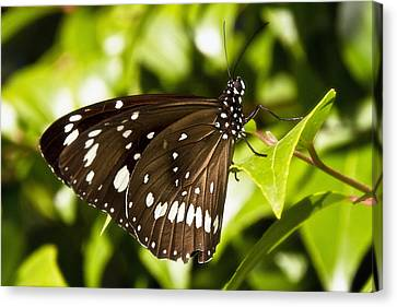 Butterfly 002 Canvas Print by Kevin Chippindall