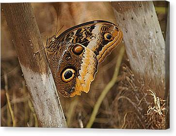Canvas Print featuring the photograph Butterfly 1 by Kathy Churchman
