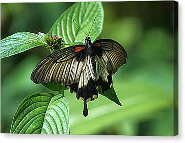 Canvas Print featuring the photograph Butterfly 2 by Kathy Churchman