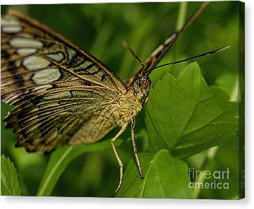 Canvas Print featuring the photograph Butterfly 2 by Olga Hamilton