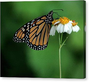 Canvas Print featuring the photograph Butterfly 3 by Leticia Latocki