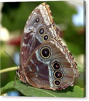 Butterfly 4 Canvas Print by Bob Slitzan
