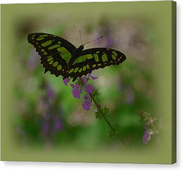 Canvas Print featuring the photograph Butterfly 4 by Leticia Latocki