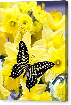 Butterfly Among The Daffodils Canvas Print by Edward Fielding