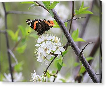 Canvas Print featuring the photograph Butterfly And Apple Blossoms by Penny Meyers