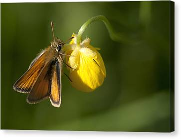 Butterfly And Buttercup  Canvas Print