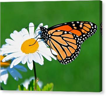 Butterfly And Daisey Canvas Print