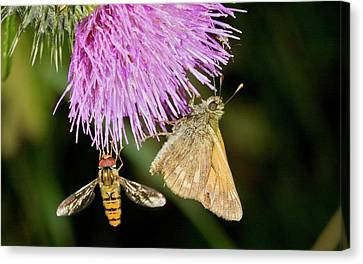 Butterfly And Hoverfly On Thistle Flower Canvas Print by Bob Gibbons