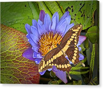 Butterfly And Lily Canvas Print by Rudy Umans