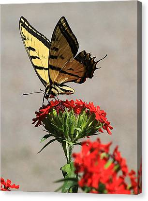 Butterfly And Maltese Cross 1 Canvas Print by Aaron Aldrich