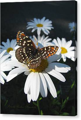 Butterfly And Shasta Daisy - My Spring Garden Canvas Print