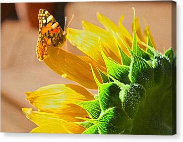 Butterfly And Sunflower Meeting Canvas Print