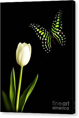 Butterfly And Tulip Canvas Print by Edward Fielding