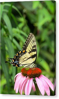 Butterfly Canvas Print by Andrea Dale