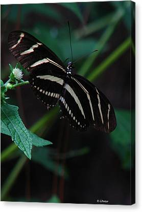 Butterfly Art 2 Canvas Print by Greg Patzer