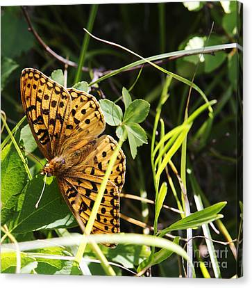 Canvas Print featuring the photograph Butterfly At Signal Mountain by Belinda Greb