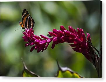 Butterfly At The End Of A Red Flower Canvas Print by Sven Brogren