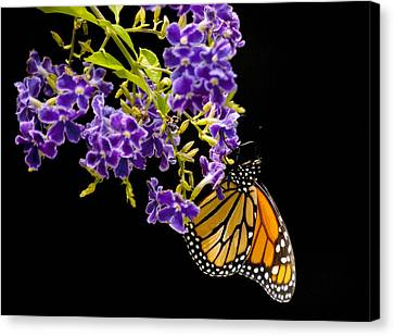 Butterfly Attraction Canvas Print