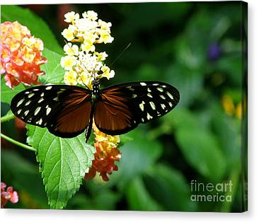 Butterfly Canvas Print by Bev Conover