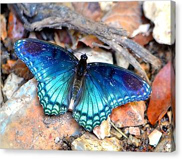 Canvas Print featuring the photograph Butterfly Blue  by Deena Stoddard