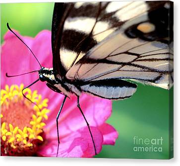 Butterfly Brunch Canvas Print by Chad and Stacey Hall