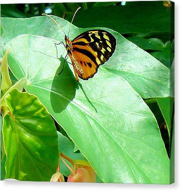 Canvas Print featuring the photograph Butterfly Chasing Shadow by Janette Boyd