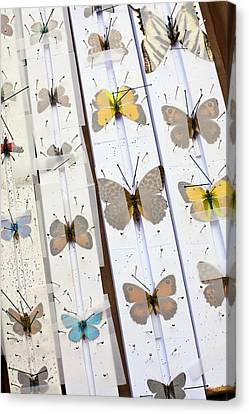 Butterfly Collector Setting Board Canvas Print by Paul D Stewart