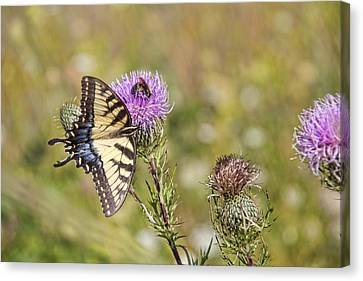 Canvas Print featuring the photograph Butterfly by Daniel Sheldon