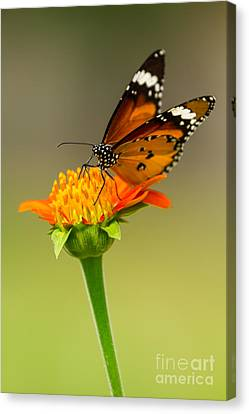 Butterfly In Motion Canvas Print - Butterfly Feeding by Tosporn Preede