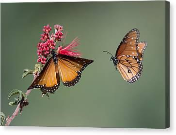 Butterfly Flight Canvas Print by Jeff Wendorff