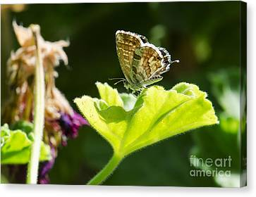 Butterfly Canvas Print by Giovanni Chianese