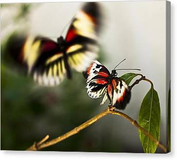 Butterfly In Flight Canvas Print by Bradley R Youngberg