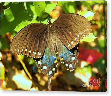 Butterfly Canvas Print by Judy Via-Wolff