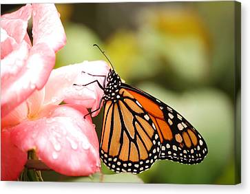 Butterfly  Canvas Print by Kathy Gibbons
