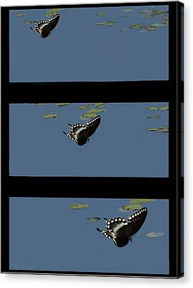 Butterfly Landing Canvas Print by Debra     Vatalaro