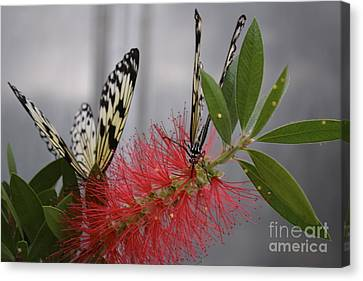 Canvas Print featuring the photograph Butterfly Love by Carla Carson